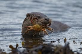 otter-with-crab